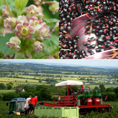 Top left, blackcurrants in flower, right blackcurrants in the press. Below, working on the harvester