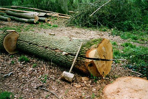 Cleft Oak